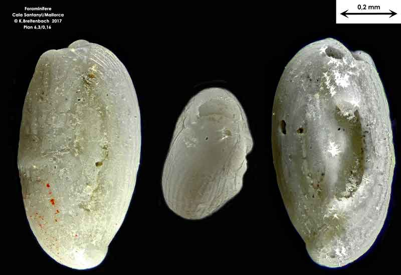 Bild 18 Foraminifere aus Mallorca Cala Santanyi, Art: Quinqueloculina sp.
