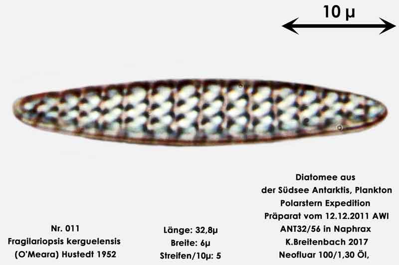 Bild 3 Art: Fragilariopsis kerguelensis (O'Meara) Hustedt 1952