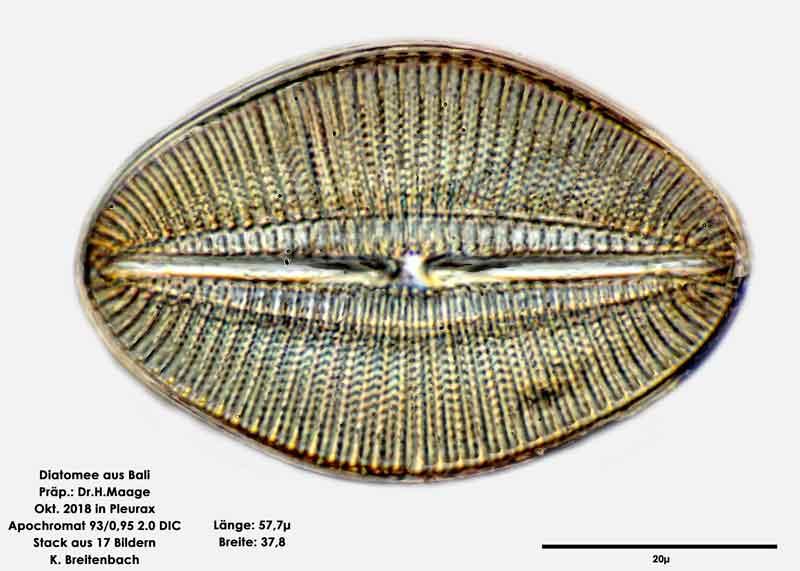 Bild 37 Diatomee aus Bali; Art: cf Diploneis smithii (Brébisson) Cleve 1894