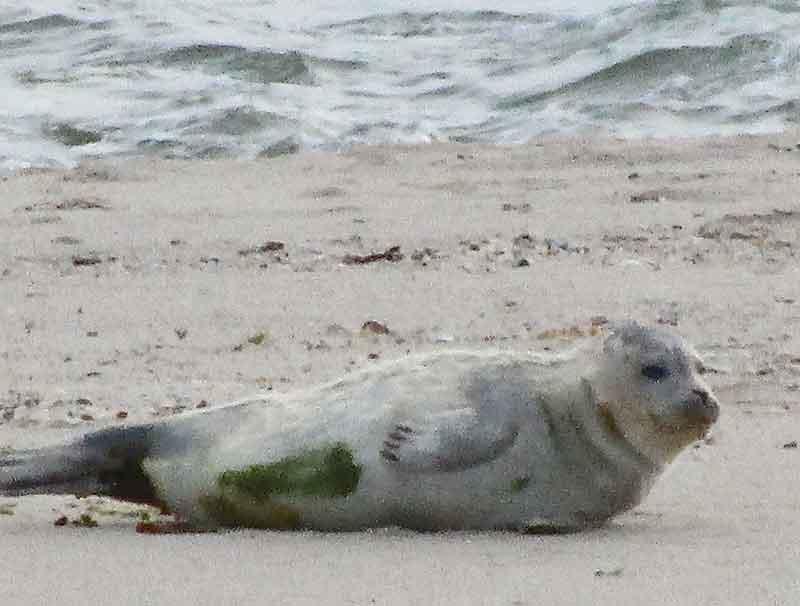 Bild 9 Robben am Watt