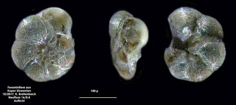 Bild 14 Foraminifere aus Koper/Slowenien Art: spec Haynesina depressula (Walker & Jacob, 1798)