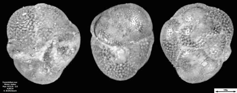 Bild 18 Foraminifere aus Strandsand aus Rimini; Gattung: Globorotalia sp.