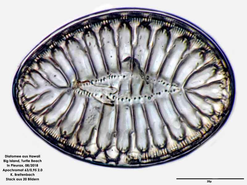 Bild 83 Diatomee aus Hawaii, Big Island, Turtle Beach. Art: Surirella fastuosa (Ehrenberg) Ehrenberg 1843