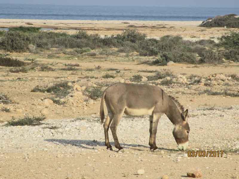 Bild 30 Esel am Meer in Sur