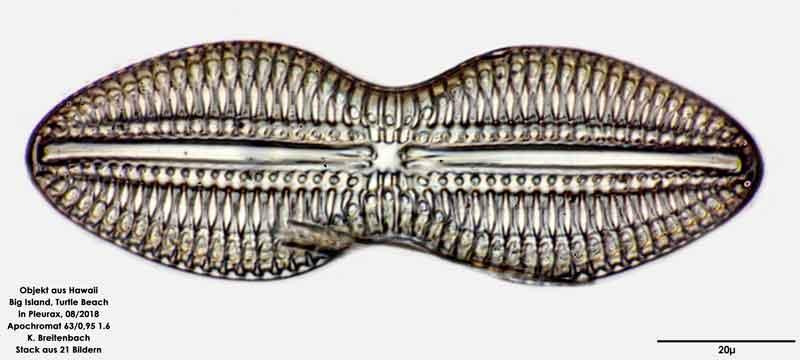 Bild 35 Diatomee aus Hawaii, Big Island, Turtle Beach. Art: Diploneis crabro (Ehrenberg) Ehrenberg 1854