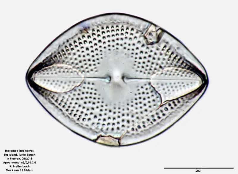 Bild 97 Diatomee aus Hawaii, Big Island, Turtle Beach. Art: Vikingea gibbocalyx (J Brun) Witkowski, Lange-Bertalot & Metzeltin 2000