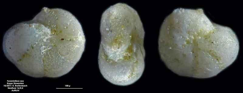 Bild 31 Foraminifere aus Koper/Slowenien Art: wurde von mir nicht bestimmt