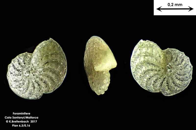Bild 26 Foraminifere aus Mallorca Cala Santanyi, Art: konnte von mir nicht bestimmt werden