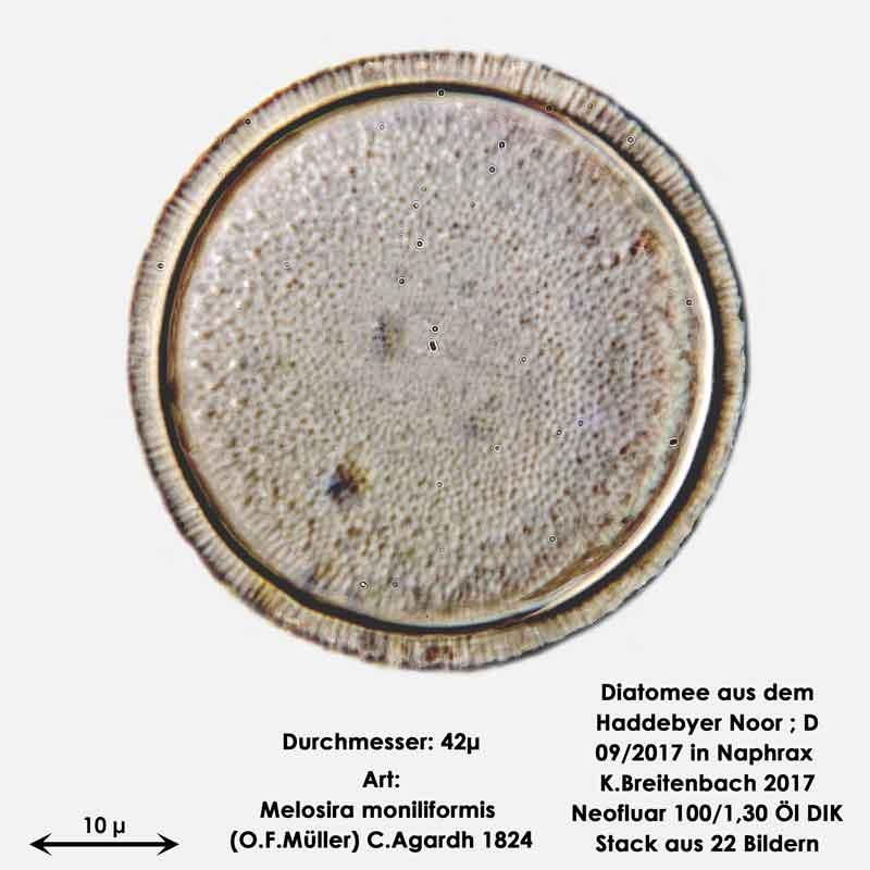 Bild 12 Diatomee aus dem Haddebyer Noor in Schleswig Holstein; Art: Melosira moniliformis (O.F.Müller) C.Agardh 1824