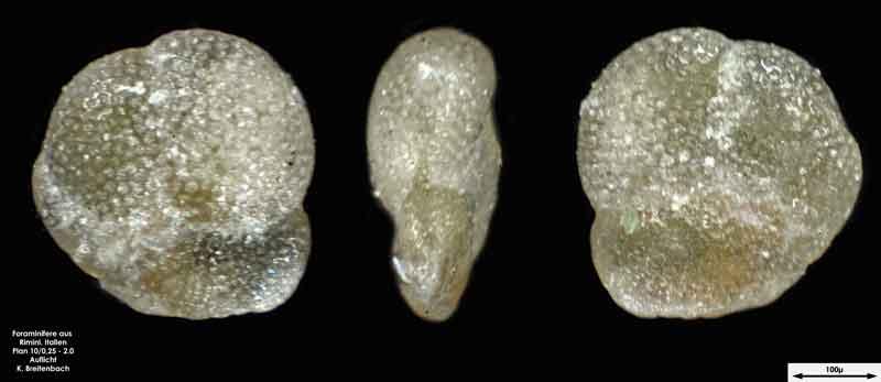 Bild 30 Foraminifere aus Strandsand aus Rimini; Gattung: Turborotalia sp.