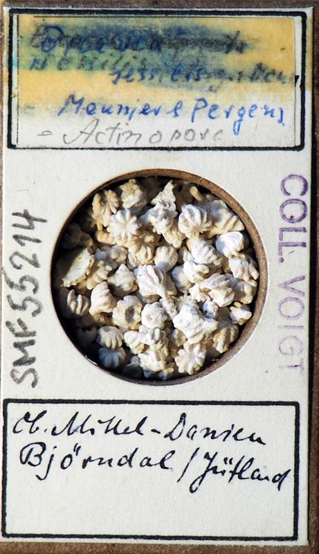 Bild 23 Francke Zelle mit Bryozoa aus Voigt Sammlung Senckenberg Frankfurt