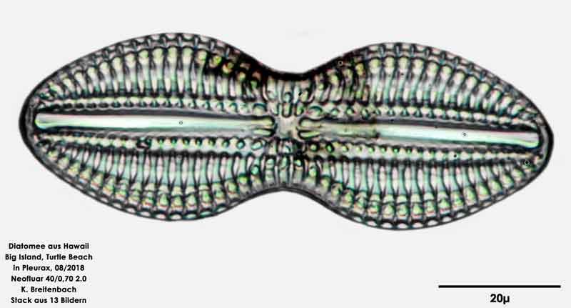 Bild 33 Diatomee aus Hawaii, Big Island, Turtle Beach. Art: Diploneis crabro (Ehrenberg) Ehrenberg 1854