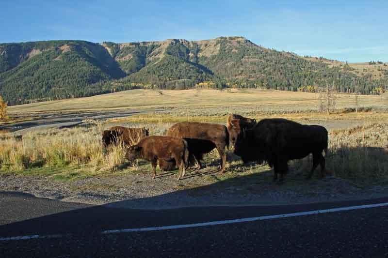 Bild 3 Yellowstone, Bisons im Lamar Valley am Morgen