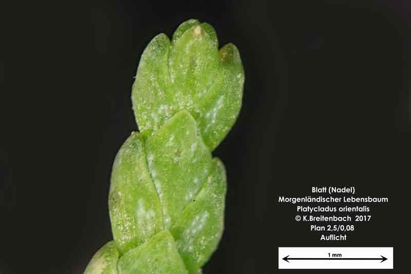 Bild 4 Morgenländischer Lebensbaum (Platycladus orientalis) Blattabschnitt