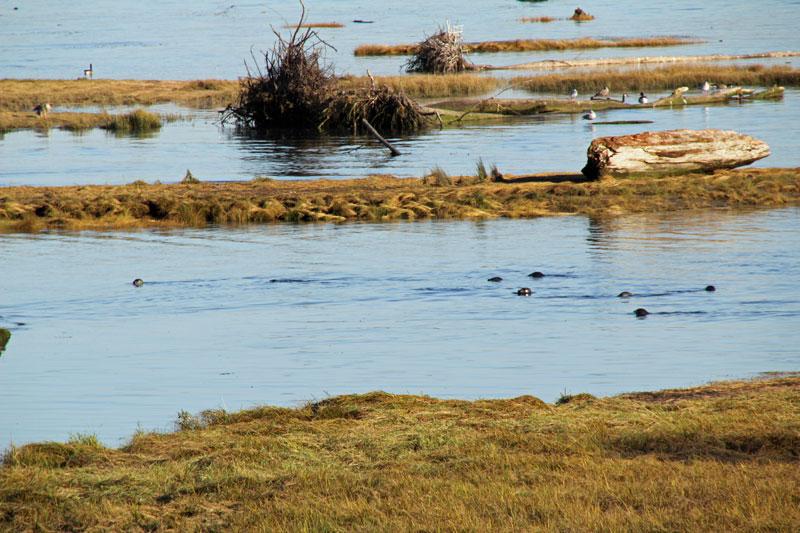 Bild 21 Blick auf die Seehunde an der Flußmündung die hier wohl auf Lachse lauern