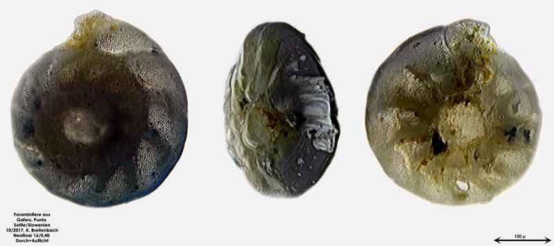 Bild 6 Foraminiferen aus Sand von Punta Sottile. Gattung: Elphidium sp.