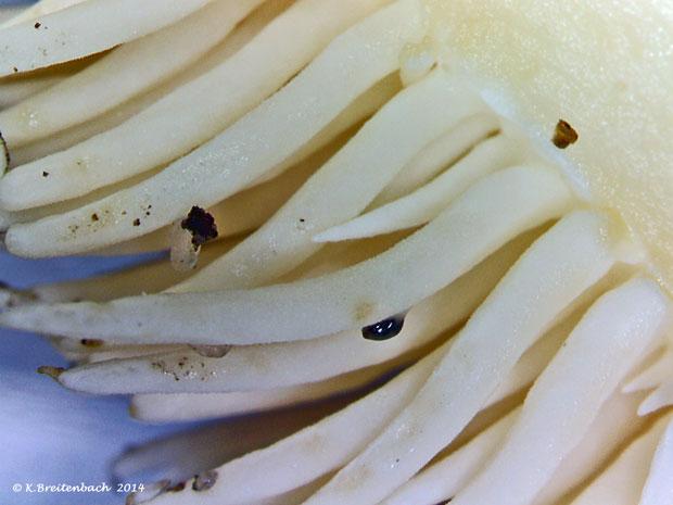 Bild 5 Semmelstoppelpilz (Hydnum repandum) gesamter Fruchtkörper, Stachel vergrößert