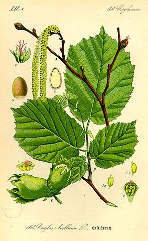 Bild 1 Gemeine Hasel (Corylus avellana)
