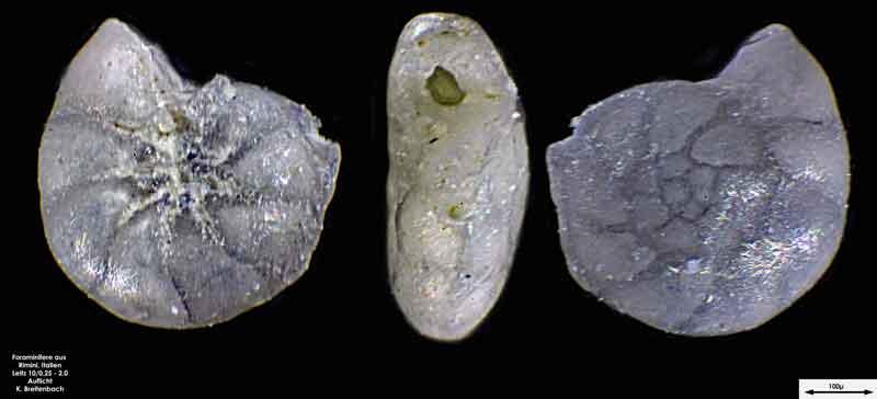 Bild 3 Foraminifere aus Strandsand aus Rimini; Gattung: Ammonia sp.