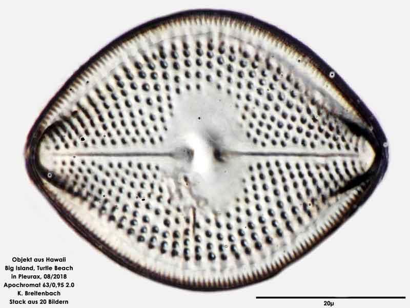 Bild 100 Diatomee aus Hawaii, Big Island, Turtle Beach. Art: Vikingea gibbocalyx (J Brun) Witkowski, Lange-Bertalot & Metzeltin 2000