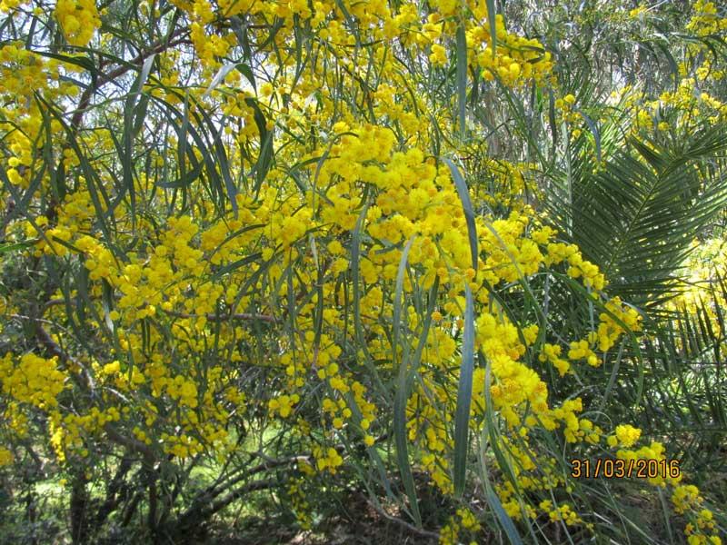 Mimosen in der Tempelanlage von Selinunte