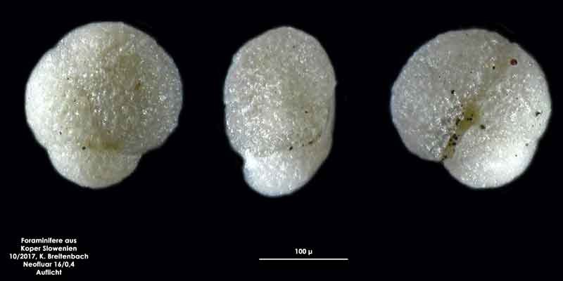 Bild 10 Foraminifere aus Koper/Slowenien Art: spec Globoturborotalita