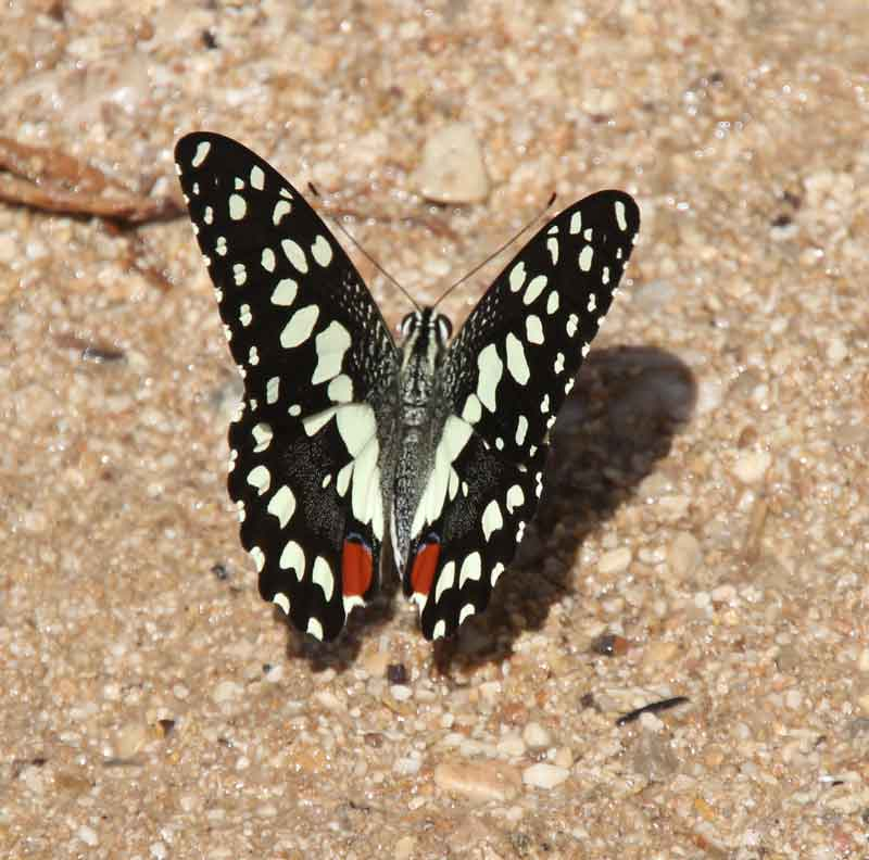 Bild 15 Schmetterling im Wadi Bani Khalid