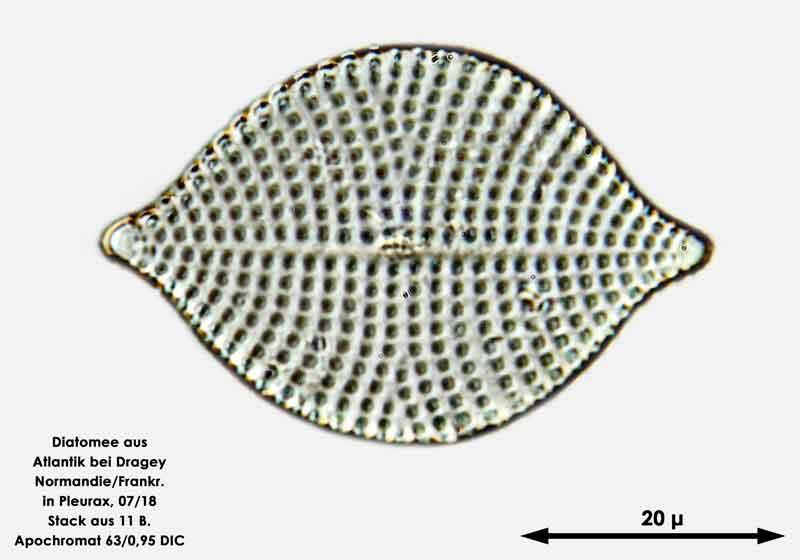 Bild 61 Diatomee aus dem Atlantik bei Draghey de Monton (Normandie). Art: Rhaphoneis amphiceros (Ehrenberg) Ehrenberg 1844
