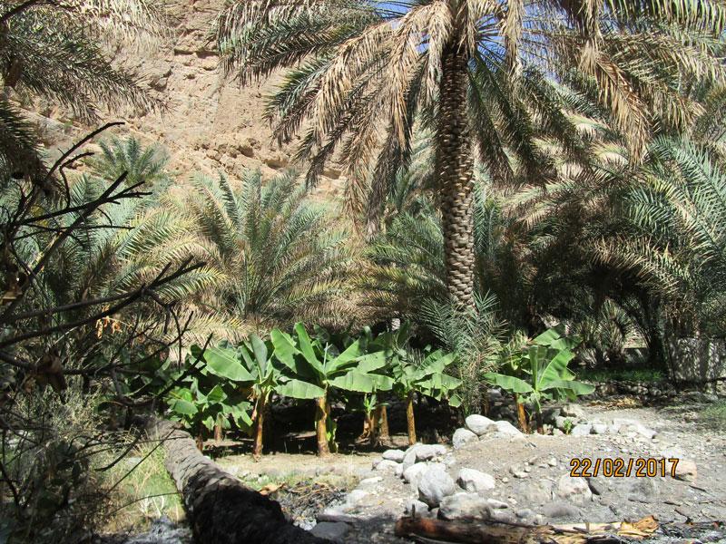 Bild 8 Am Ende des Wadis eine kleine Oase mit Dattelpalmen und Bananenstauden