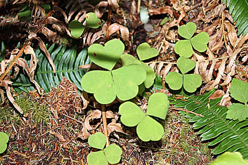 Bild 11 Eine tolle Pflanzenwelt ist hier zu sehen im dichten Regenwald im Quinolt National Forest