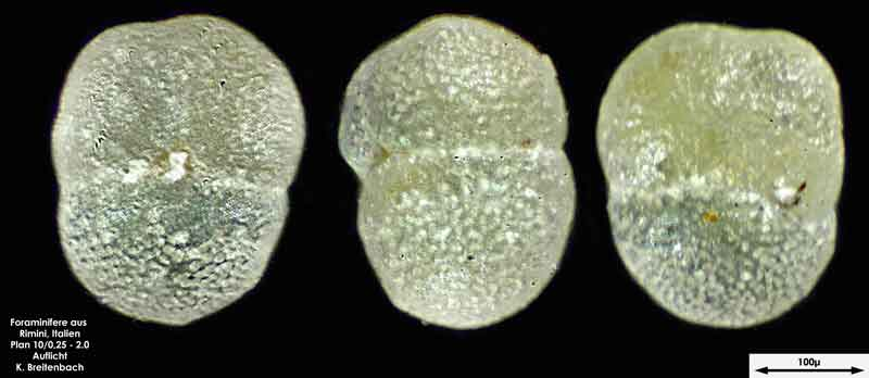 Bild 19 Foraminifere aus Strandsand aus Rimini; Gattung: Globorotalia sp.