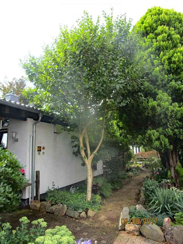 Bild 1 Gelb-Birke (Betula alleghaniensis) Gesamtansicht in unserem Garten