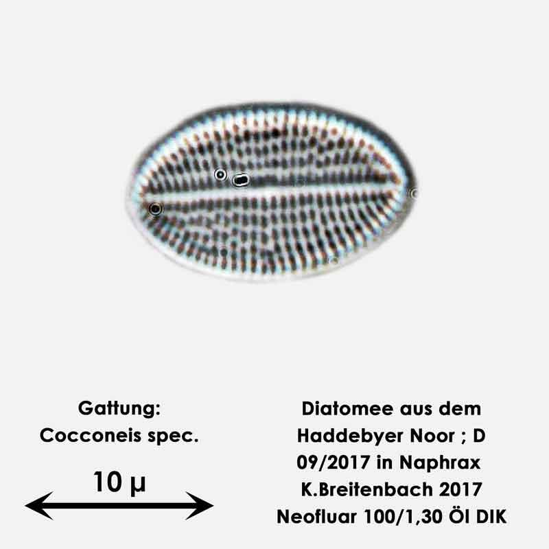 Bild 8 Diatomee aus dem Haddebyer Noor in Schleswig Holstein; Gattung: Cocconeis spec.