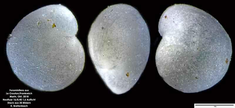 Bild 46 Foraminifere aus Le Crotoy Normandie/Frankreich. Gattung: konnte von mir nicht bestimmt werden