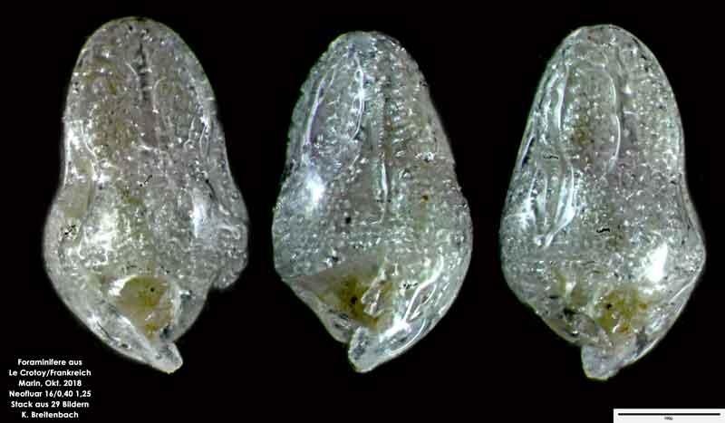 Bild 49 Foraminifere aus Le Crotoy Normandie/Frankreich. Gattung: konnte von mir nicht bestimmt werden