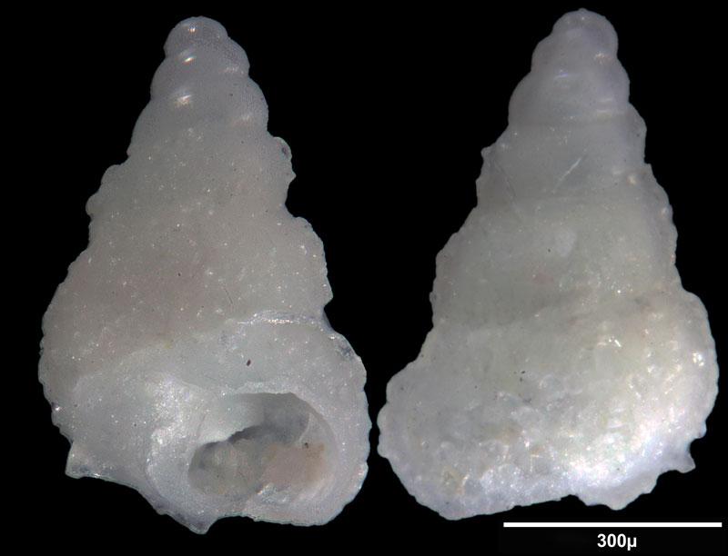 Bild 17 Meeresschnecke aus Saudi Arabien, Ras as Zawr