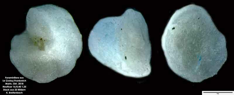 Bild 16 Foraminifere aus Le Crotoy Frankreich. Gattung: Eponides sp