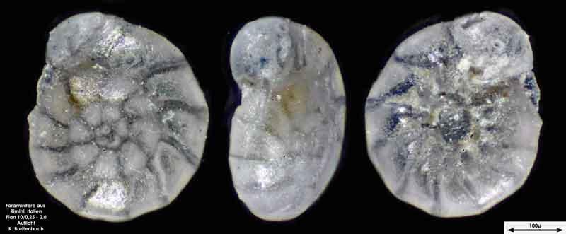 Bild 6 Foraminifere aus Strandsand aus Rimini; Gattung: Ammonia sp.