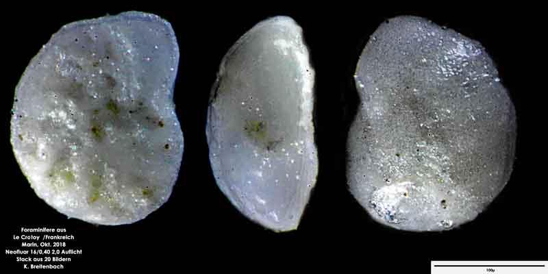 Bild 14 Foraminifere aus Le Crotoy Frankreich. Gattung: Eponides sp