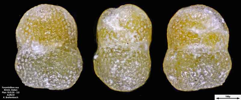 Bild 16 Foraminifere aus Strandsand aus Rimini; Gattung: Globorotalia sp.