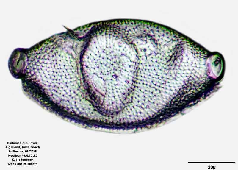 Bild 54 Diatomee aus Hawaii, Big Island, Turtle Beach. Art: Odontella aurita (Lyngbye) C.Agardh 1832 Draufsicht
