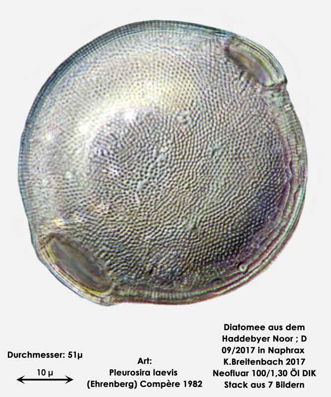 Bild 22 Diatomee aus dem Haddebyer Noor in Schleswig Holstein; Art: Pleurosira laevis (Ehrenberg) Compère 1982