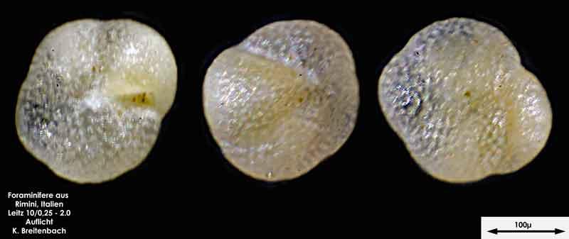 Bild 22 Foraminifere aus Strandsand aus Rimini; Gattung: Globorotalia sp.