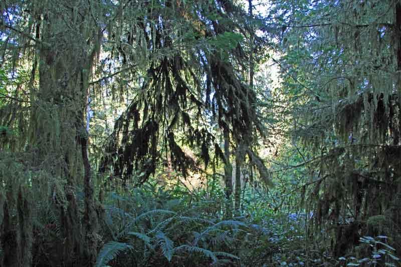 Bild 6 Ein schmaler Pfad führt durch den dichten Regenwald im Quinolt National Forest