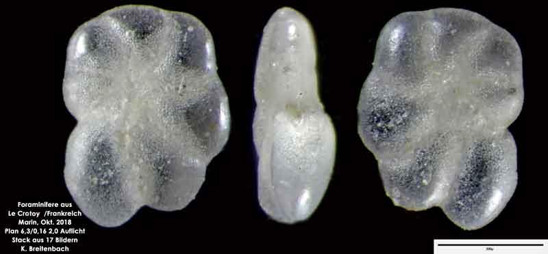 Bild 20 Foraminifere aus Le Crotoy Frankreich. Gattung: Haynesina sp