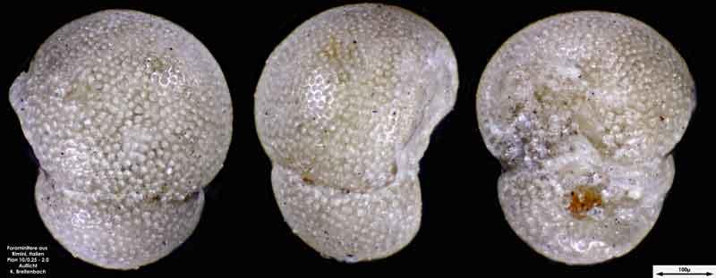Bild 11 Foraminifere aus Strandsand aus Rimini; Gattung: Globorotalia sp.