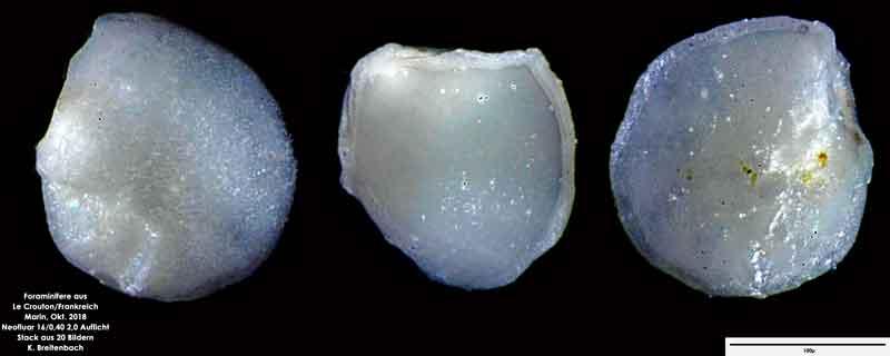 Bild 44 Foraminifere aus Le Crotoy Normandie/Frankreich. Gattung: konnte von mir nicht bestimmt werden