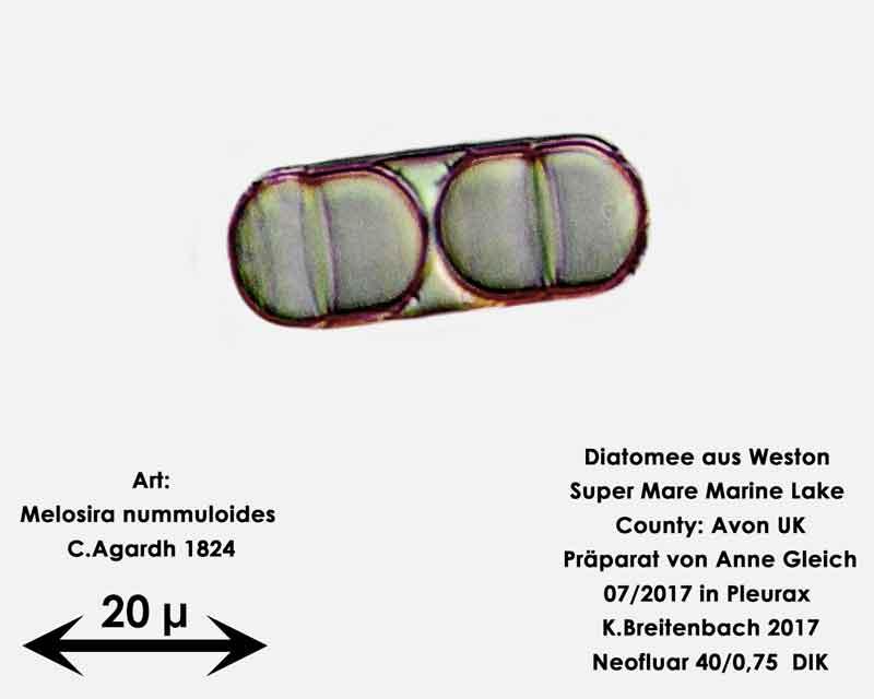 Bild 26 Diatomeen aus Weston Super Mare, UK Art: Melosira nummuloides C.Agardh 1824