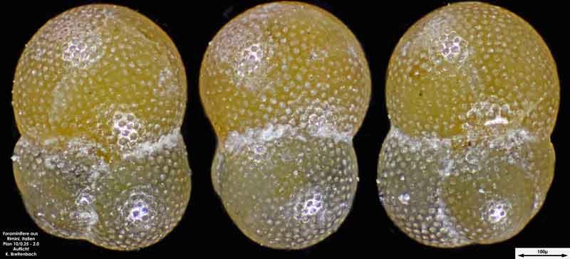 Bild 15 Foraminifere aus Strandsand aus Rimini; Gattung: Globorotalia sp.