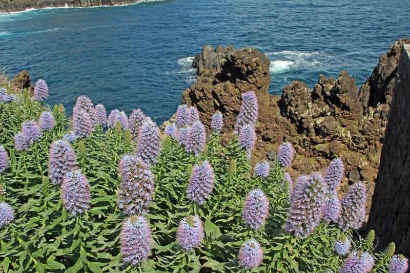 Bild 28 Blumen und Felsenküste von Porto Moniz